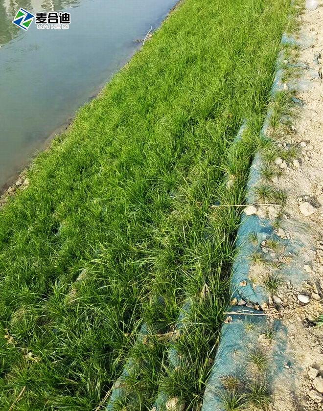 生态袋护坡植草效果